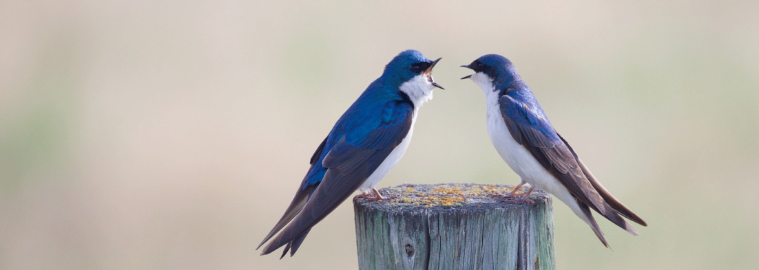 beginners-guide-to-ucat-part-5-situational-judgement-banner-a-pair-of-bluebirds-having-an-argument-over-a-fence-post