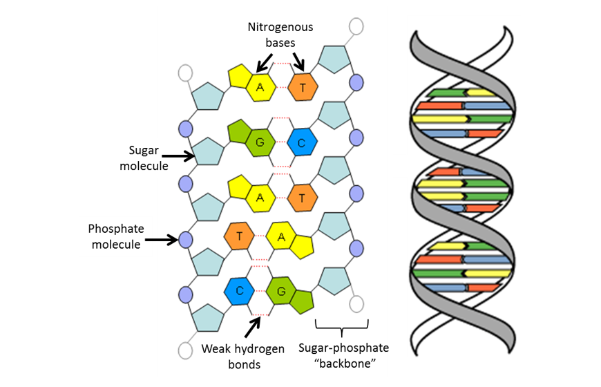 Diagram showing the composition of DNA