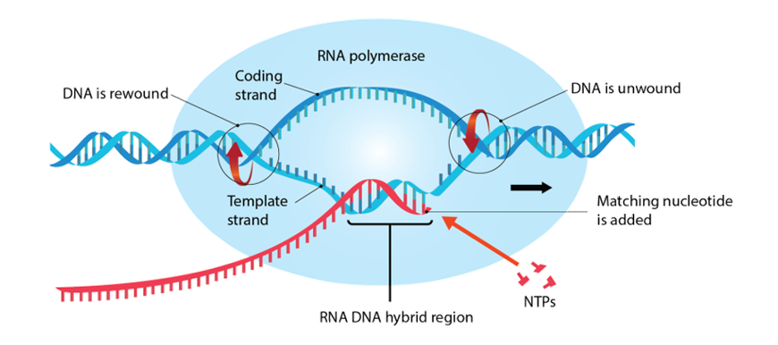 image describing the process of transcription described above in the beginners-guide-to-year-12-biology-heredity
