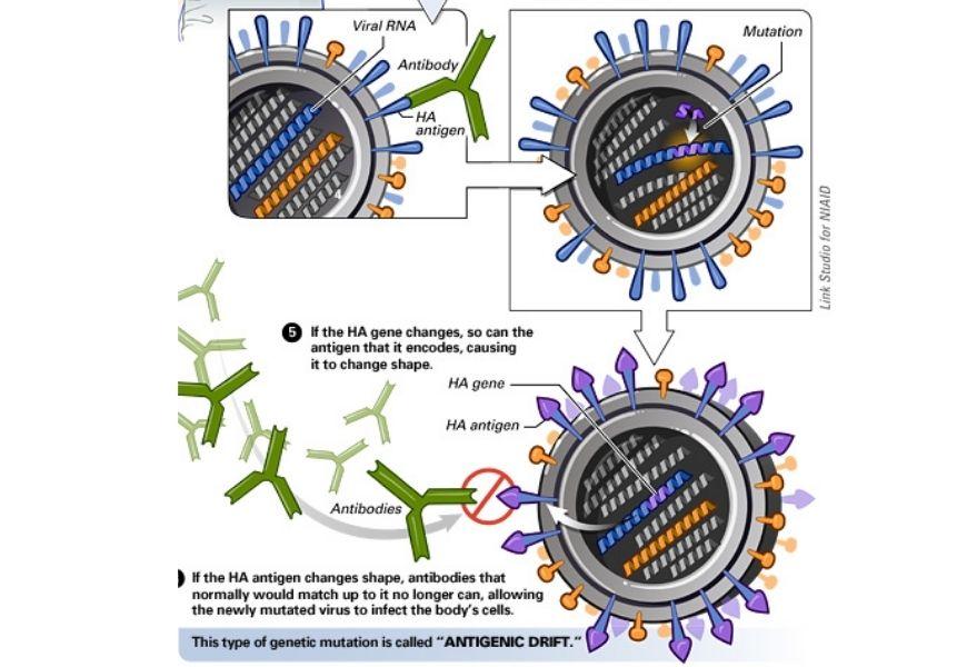 guide-biology-year-12-module-7-infectious-disease-antigenic-drift-of-flu