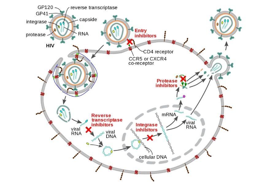 guide-biology-year-12-module-7-infectious-disease-antiviral